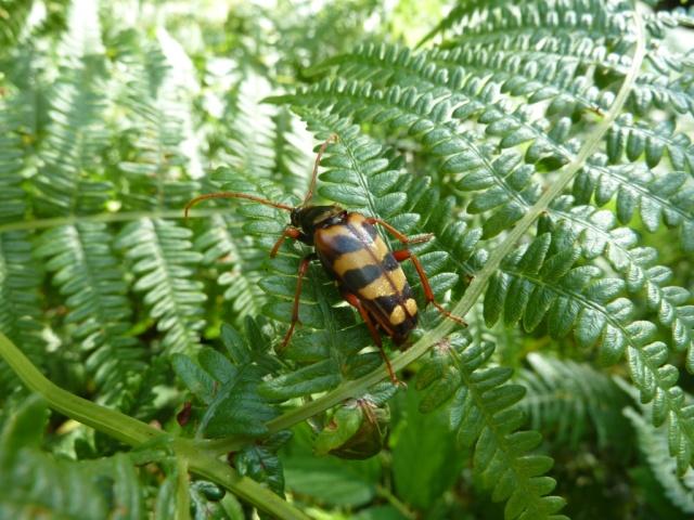 Strangalia aurulenta, Fingle Woods, devon