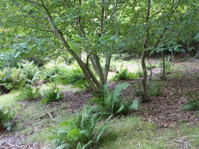 deer grazing2