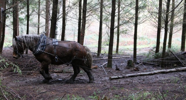 Horse logging at Fingle Woods – Beano will return this autumn
