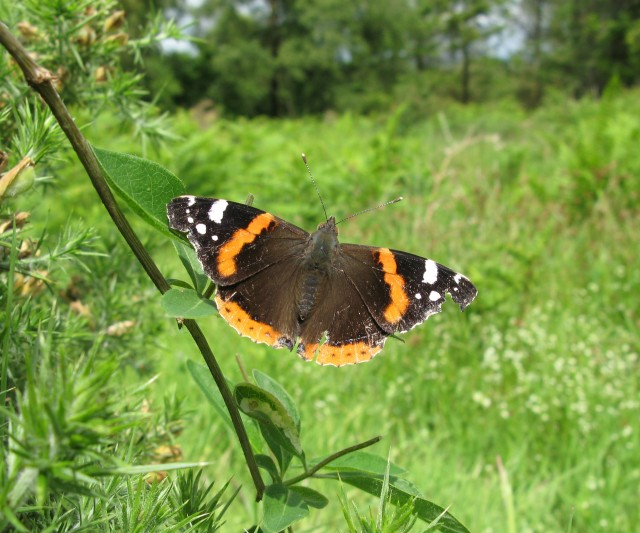 Red admiral: open sunny spots are enjoyed by many invertebrates