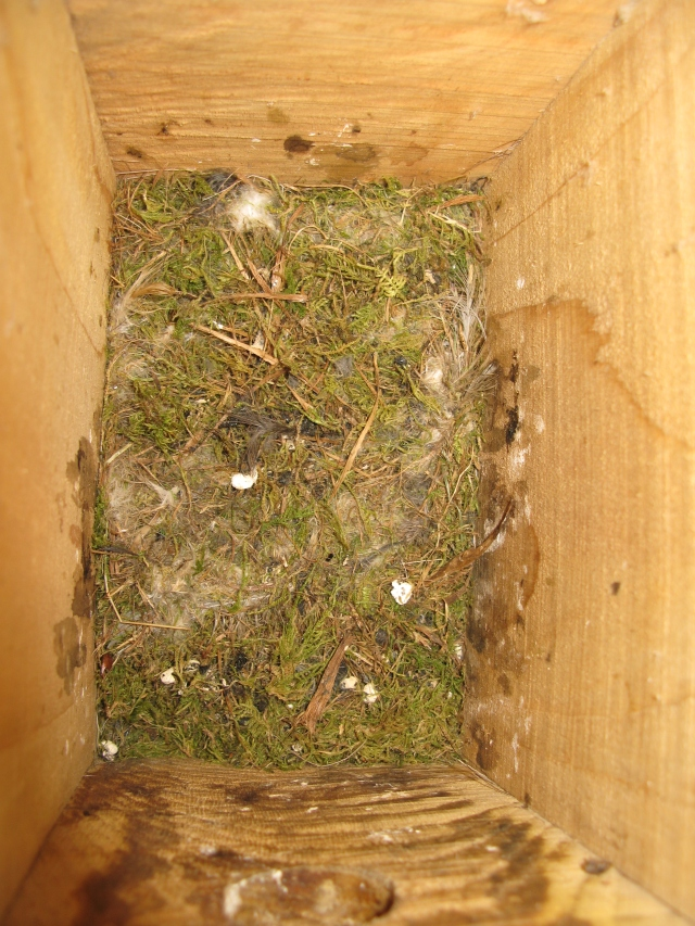 Trampled flat – a nest after blue tits have fledged