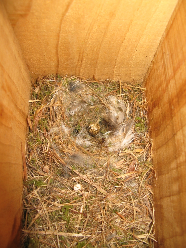Predated blue tit nest – abandoned with one egg left