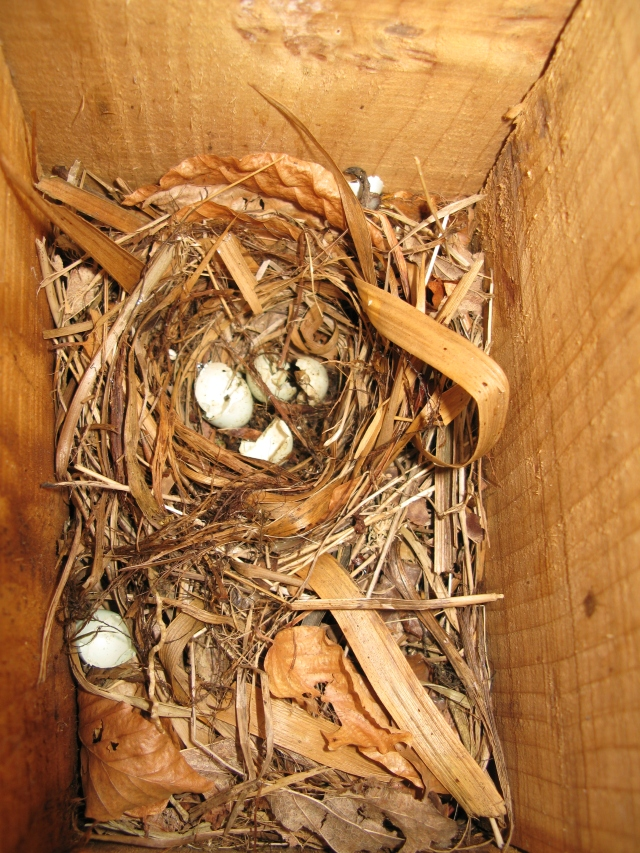 Egg shells in a predated pied flycatcher nest