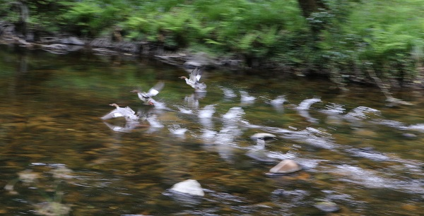 Goosanders on the river Teign (photo: P.Moody)