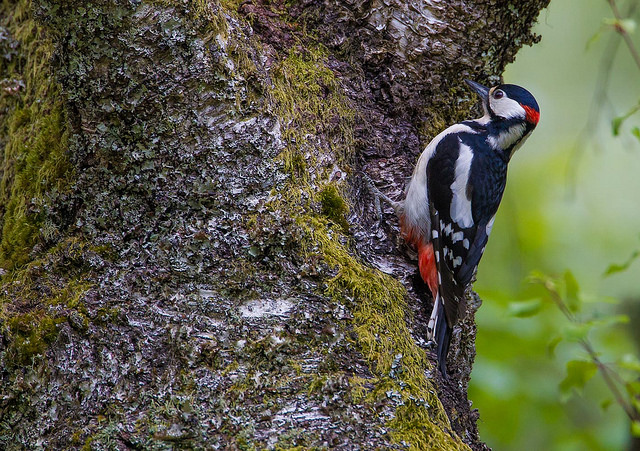 Great spotted woodpecker (photo: Natural England)