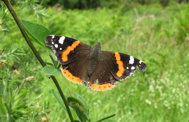 A red admiral at Fingle