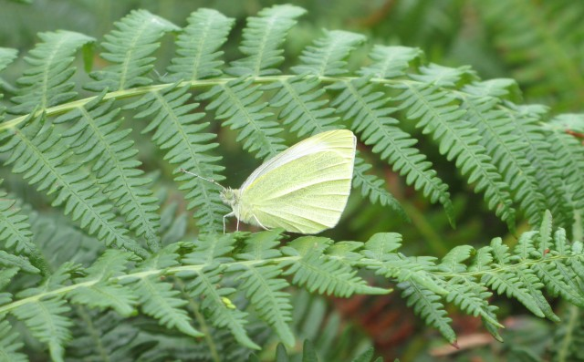 Small white at home on the last of the green bracken fronds