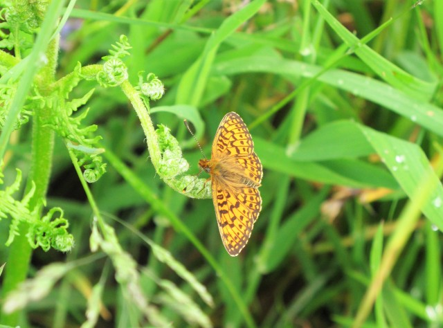 A conservation priority - pearl bordered fritillary on bracken at Cranbrook hillfort (photo: M Parkins)