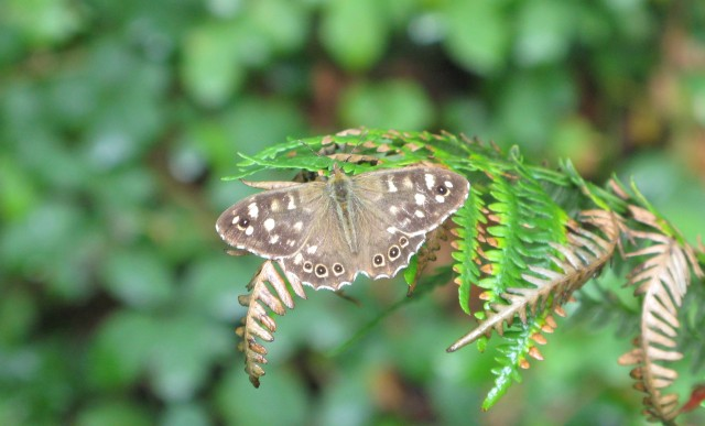 Speckled wood making the most of the sunny intervals